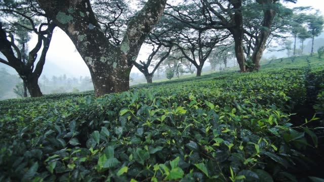 Panoramic view of tea plantations under some big trees, Munnar, India, on a foggy day