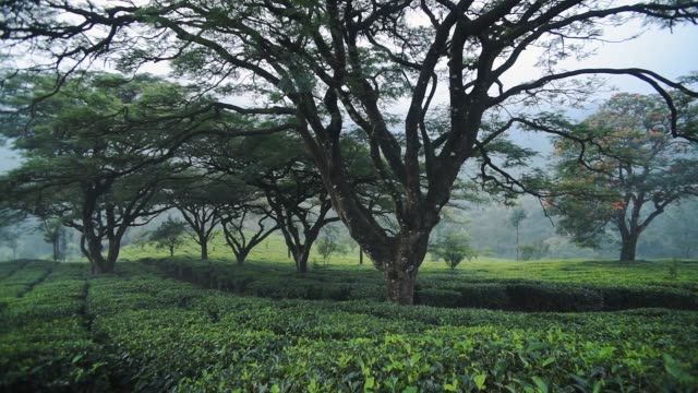 Panoramic view of tea plantations under some big trees, Munnar, India