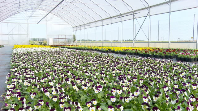 HD DOLLY: Pansies In The Greenhouse video