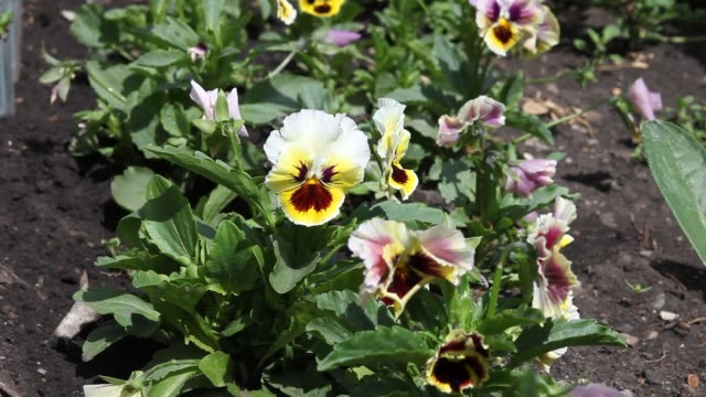 pansies violets grow in the garden