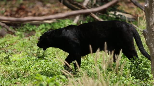 panther djur - leopard bildbanksvideor och videomaterial från bakom kulisserna