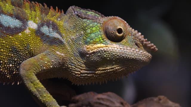 panther chameleon, furcifer pardalis, vuxen stående på filial, madagaskar, slow motion 4k - madagaskar bildbanksvideor och videomaterial från bakom kulisserna