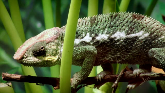 Panther Chameleon video