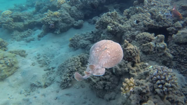 vídeos de stock e filmes b-roll de panther electric ray or blackspotted torpedo ray or (torpedo fuscomaculata) swimming underwater in sea. - uge
