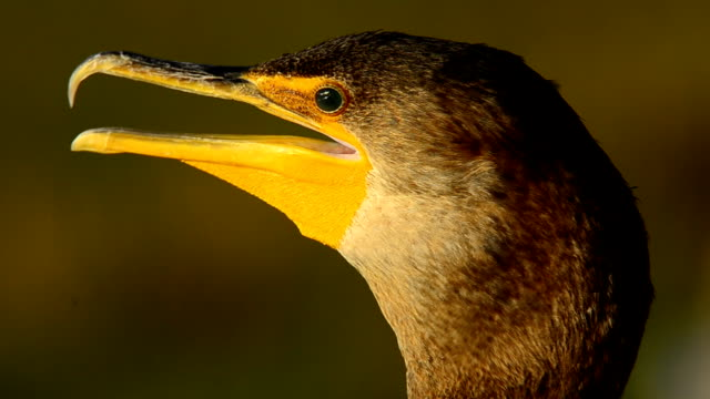 Panting Cormorant head in evening light A cormorant's throat pulses as it pants in Florida heat. It's gorgeous iridescent teal colored eye is periodically covered by the second eyelid that's used for seeing underwater panting stock videos & royalty-free footage
