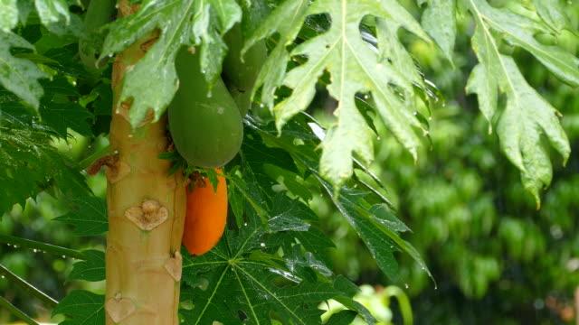 papaya fruits on a tree in the Pantanal wetlands video