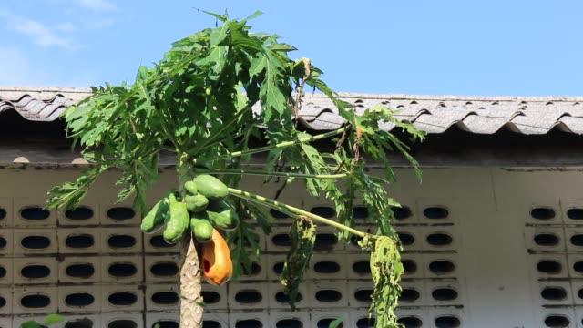 papaya-anlage steht allein am windigen tag - indochina stock-videos und b-roll-filmmaterial