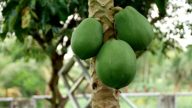 papaya tree with fruit papaya tree with fruit plant part stock videos & royalty-free footage