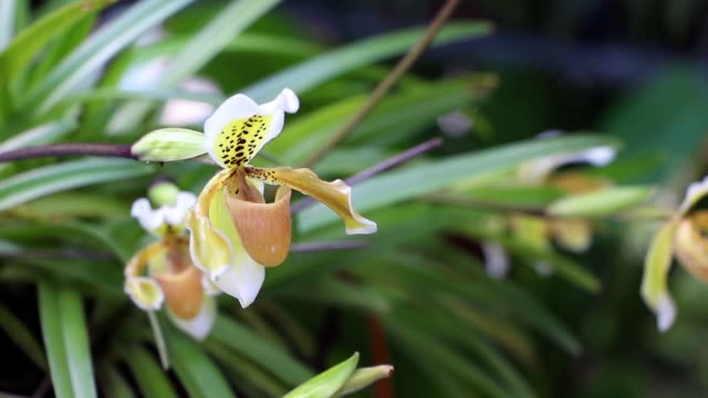 Paphiopedilum orchid flower or Lady's Slipper orchid,