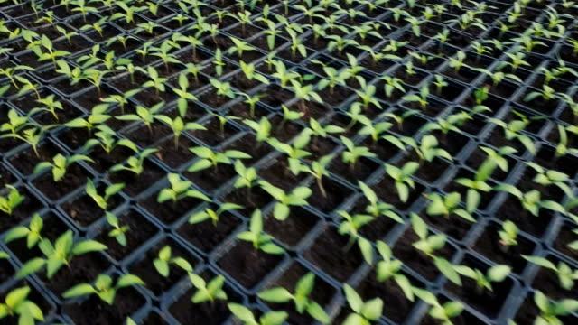 Bидео Paprika seedlings growing in greenhouse