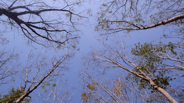 Para rubber trees video