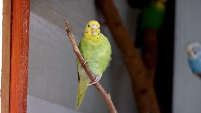 wellensittich grün, gelb papageien halten auf ast mit sauberen feder - faul ast stock-videos und b-roll-filmmaterial