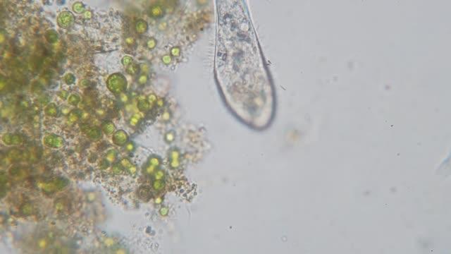 Paramecium caudatum is a genus of unicellular ciliated protozoan video