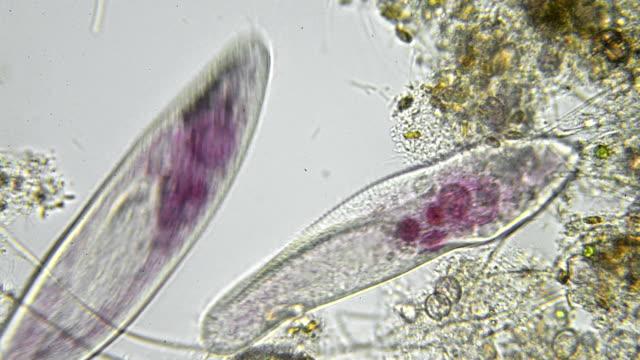 paramecium caudatum aufnahme - biologie stock-videos und b-roll-filmmaterial