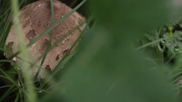Parasol mushroom up close