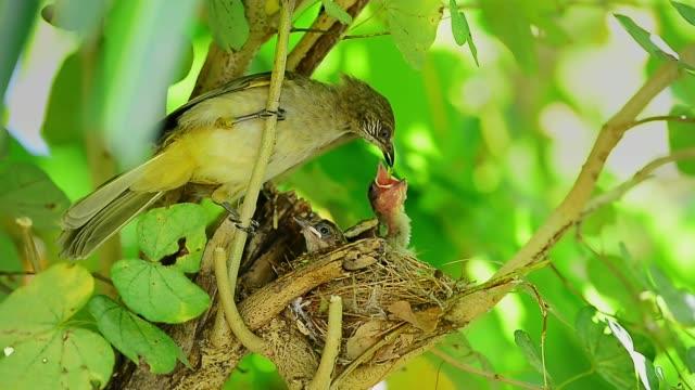 vídeos y material grabado en eventos de stock de ave madre alimentando a dos bebés hambrientos en el nido. - animal joven