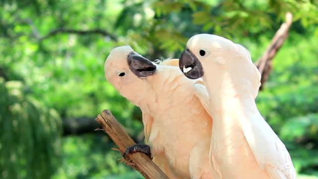 Parrot bird couple,falling in love video