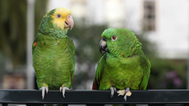 Parrot Discussion Parrot discussing.. talking stock videos & royalty-free footage