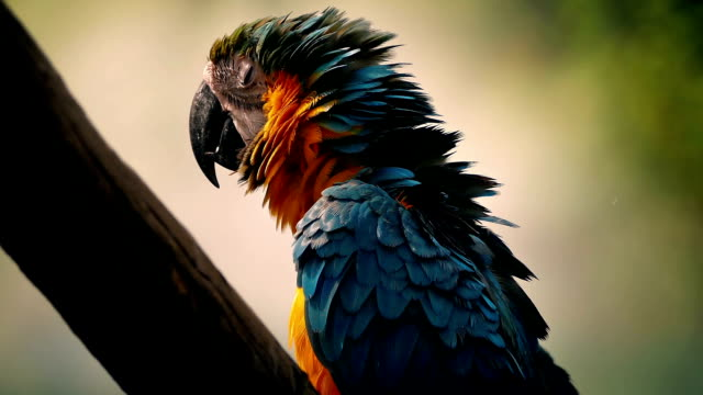 Parrot Fluffs Its Feathers And Squawks video
