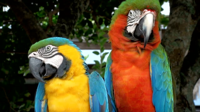 Parrot Macaw http://www.shortjourneys.com/istockphoto/istock_exotic_animals.jpg puerto rico stock videos & royalty-free footage
