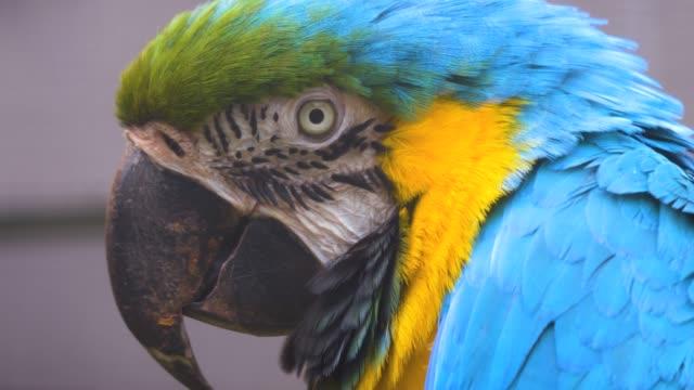 Parrot profile close up video