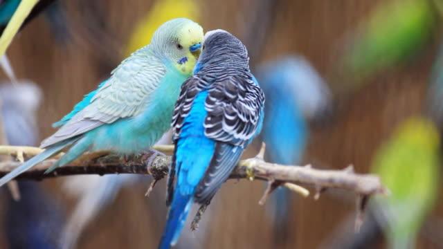 papugi całować. - zachowanie zwierzęcia filmów i materiałów b-roll