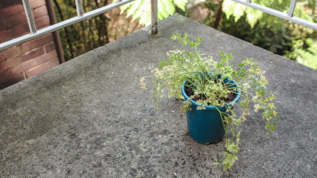 Parsley Parsley plant comes to life parsley stock videos & royalty-free footage