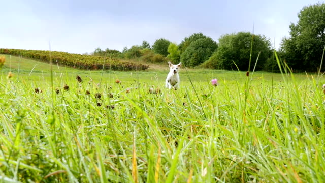 parson russell terrier bounces across a summer meadow with wild flowers - terrier video stock e b–roll