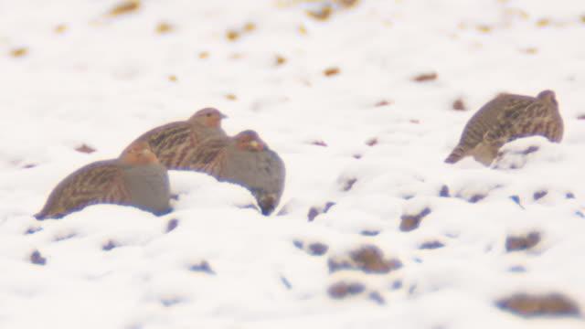 partridges in winter video