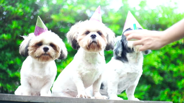 Party dogs, Shih Tzu dogs with party hat and birthday cake. Party dogs, Shih Tzu dogs with party hat and birthday cake. purebred dog stock videos & royalty-free footage