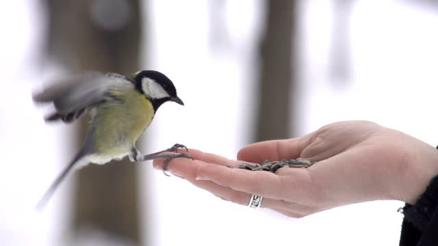 SLOW MOTION: Parus lands on hand and takes a seed Wild birds eating seeds out of a hand landing touching down stock videos & royalty-free footage