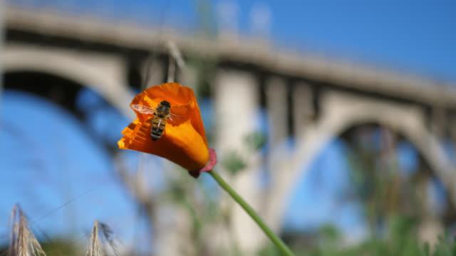 vídeos y material grabado en eventos de stock de pasadena bridge rack focus - amapola planta