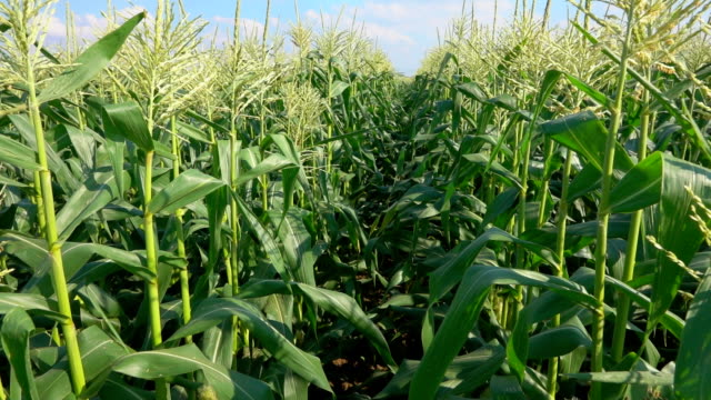 Pass along the corn field Pass along the field with ripe corn biomass renewable energy source stock videos & royalty-free footage