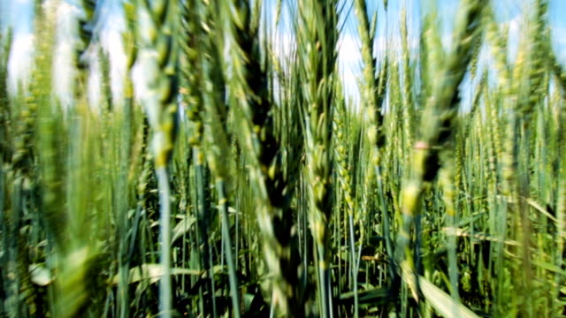 Passage through the ears of young wheat, close-up video