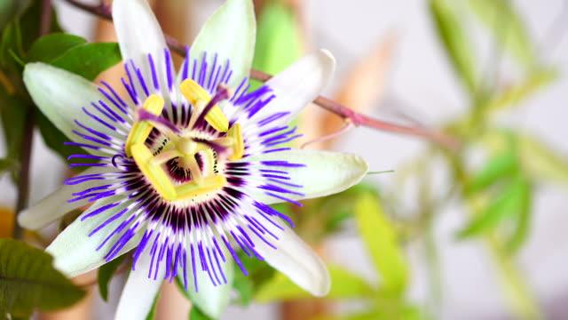 passiflora caerulea in movimento laterale 4 k - video di passiflora video stock e b–roll