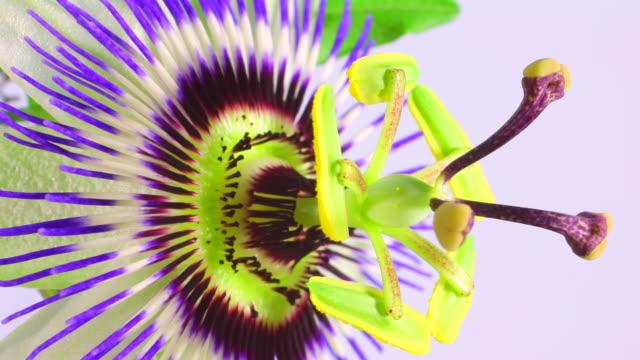 passiflora fiori in boccio 4 k - video di passiflora video stock e b–roll