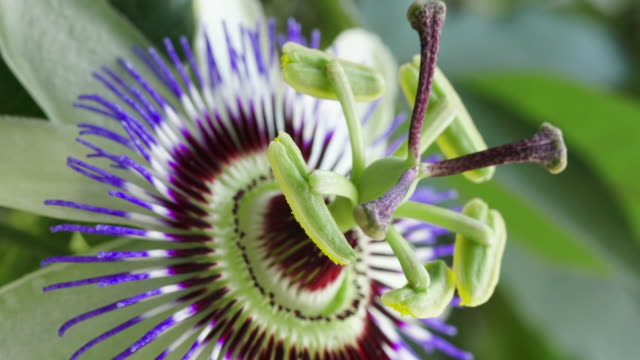passiflora flower blooming time lapse - passiflora video stock e b–roll