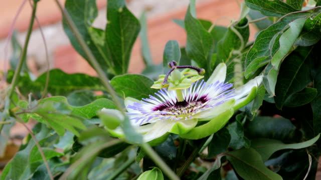passiflora flower macro and amegilla quadrifasciata, white-banded digger bee - video di passiflora video stock e b–roll