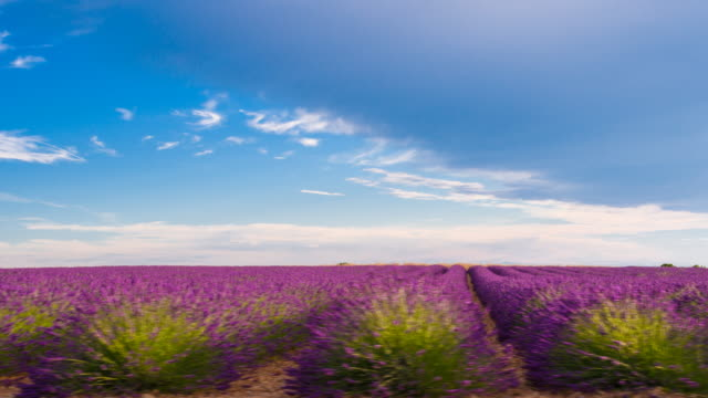 Passing by lavender fields while driving on a lonely road video