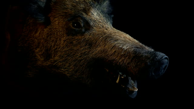 Passing Large Stuffed Hog On The Wall Big wild boar head taxidermy moving shot stuffed stock videos & royalty-free footage