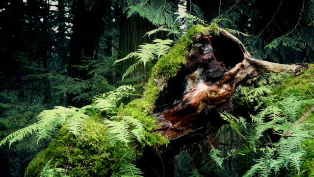 Passing Old Growth Tree With Ferns Growing Off It video