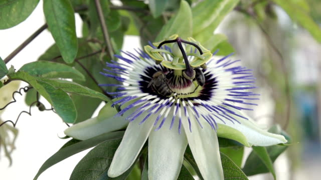 HD: Passion flower (Passiflora) with honeybees.