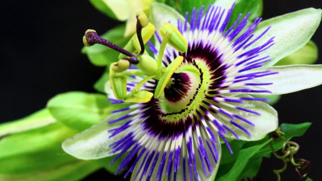 frutto della passione fiori in boccio hd 4 k - video di passiflora video stock e b–roll
