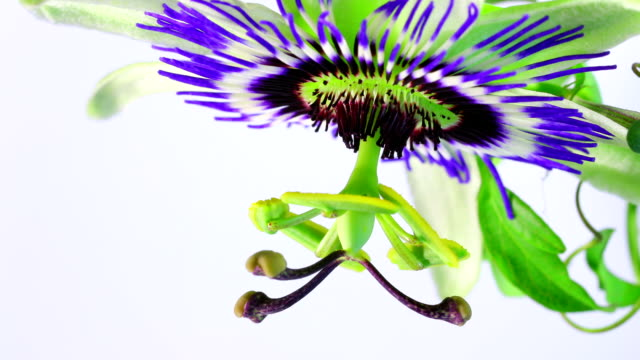 di frutto della passione fiori fioriture hd - video di passiflora video stock e b–roll