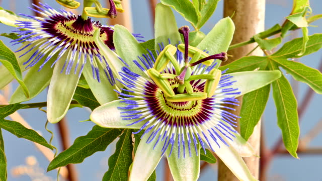 passion fruit flower blooming - passiflora video stock e b–roll
