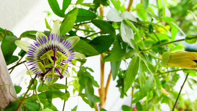 passion fruit flower in wide angle shot - passiflora video stock e b–roll