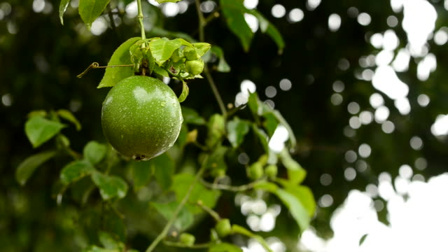 vidéos et rushes de fruit de la passion - fruit de la passion