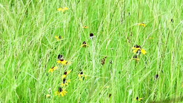 Pasture of Bahia grass and Black eyed Susan in gentle blowing breeze.