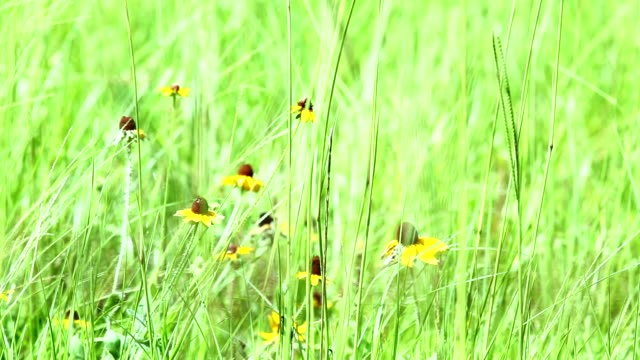 Pasture of Bahia grass and Black eyed Susan in gentle blowing breeze. video