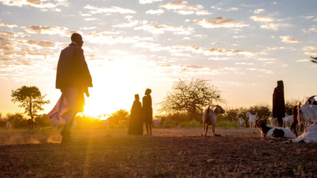 stockvideo's en b-roll-footage met ws ds pasturing goats in the himba village - culturen